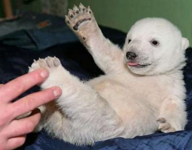 knut baby ber with human